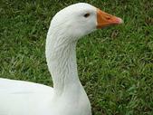大白鵝:DSC09772.JPG