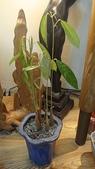 榴蓮種子盆栽:DSC08608.JPG