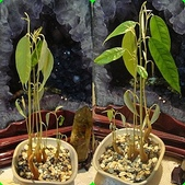 榴蓮種子盆栽:2-晨昏不同.jpg