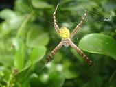 蜘蛛~~長圓金蛛:DSC00051.JPG