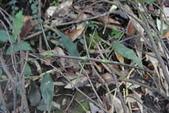 竹節蟲:DSC07503.JPG