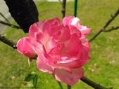樹玫瑰:樹玫瑰