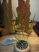 中東海棗種子盆栽:DSC00160.JPG