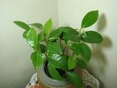 種子盆栽:山刺番荔枝(羅李亮果)種子盆栽 DSC00098.JPG