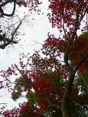 賞楓:2011.12.25馬拉邦山賞楓IMGP3414.JPG
