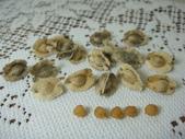 種子盆栽:酒瓶蘭種子DSC09736.JPG