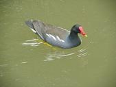鳥類:紅冠水雞IMGP2403.JPG