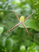 蜘蛛~~長圓金蛛:DSC00054.JPG
