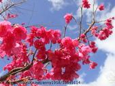 植物:緋寒櫻之美 DSC00592.JPG