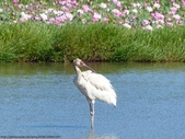 金山西伯利亞白鶴:金山西伯利亞白鶴