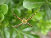 蜘蛛~~長圓金蛛:DSC00056.JPG