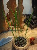 中東海棗種子盆栽:DSC00163.JPG