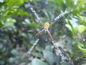 蜘蛛~~長圓金蛛:DSC00200.JPG