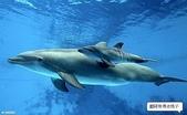 海豚是這樣出生的:海豚是這樣出生的4.jpg