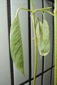 榴蓮種子盆栽:8.6.JPG
