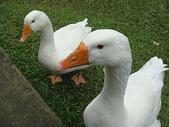 大白鵝:DSC09786.JPG