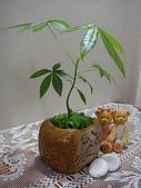 種子盆栽:掌葉蘋婆種子盆栽 DSC09699.JPG