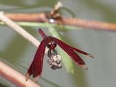 夢湖隨意拍~~~~~蜻蜓:善變蜻蜓