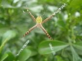 蜘蛛~~長圓金蛛:DSC00080.JPG