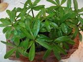 種子盆栽:DSC03345.JPG