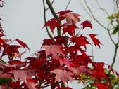 賞楓:2011.12.25馬拉邦山賞楓IMGP3380.JPG