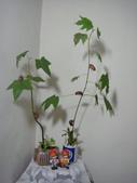 種子盆栽:千年桐種子盆栽 DSC08071.JPG