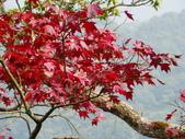 賞楓:2011.12.25馬拉邦山賞楓IMGP3374.JPG