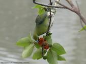 綠鳩覓食表演秀:綠鳩覓食表演秀