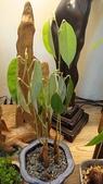 榴蓮種子盆栽:8.21-1.JPG