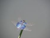 夢湖隨意拍~~~~~蜻蜓:三角蜻蜓.JPG