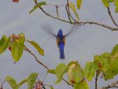 鳥類:黃腹琉璃(公鳥)IMGP3283.JPG