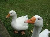 大白鵝:DSC09785.JPG