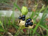 植物:射干花