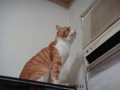 貓咪寫真:貓咪吹冷氣004_20130813.JPG