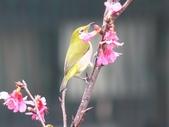 綠繡眼與山櫻~鳥語花香:綠繡眼與山櫻~鳥語花香9-20150210.JPG