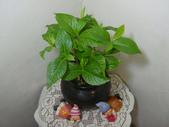 種子盆栽:砲彈種子盆栽DSC01892.JPG