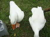 大白鵝:DSC09776.JPG