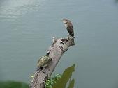 汐止-金龍湖~~~ 生態觀察:IMGP0089.JPG