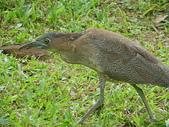 鳥類:IMGP1051.JPG