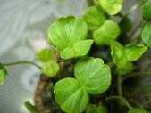 種子盆栽:洛神花種子盆栽 DSC00585.JPG