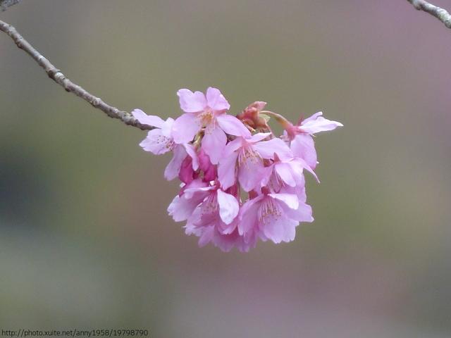 P1400468.JPG - 杉林溪櫻花河谷