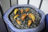 榴蓮種子盆栽:6.23-1.JPG