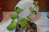 種子盆栽:DSC06031.JPG