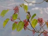 鳥類:黃腹琉璃(母鳥)IMGP3291.JPG