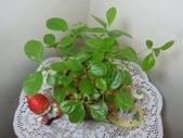 種子盆栽:流蘇種子盆栽 DSC01099.JPG