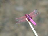 夢湖隨意拍~~~~~蜻蜓:紫紅蜻蜓