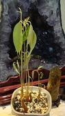 榴蓮種子盆栽:8.21-2.JPG