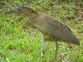 鳥類:IMGP1050.JPG