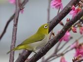 綠繡眼與山櫻~鳥語花香:綠繡眼與山櫻~鳥語花香3-20150210.JPG
