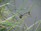 夢湖隨意拍~~~~~蜻蜓:粗鉤春蜓